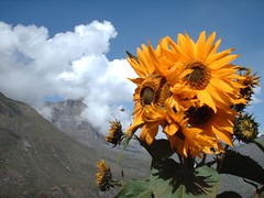 Despite the Clouds (ojodorado) Tags: flowers mountains flores flower peru clouds hope cusco sunflowers nubes sunflower andes nuages girasol montanhas montaas montanas ollantaytambo yellowandblue girasoles golddragon platinumheartaward