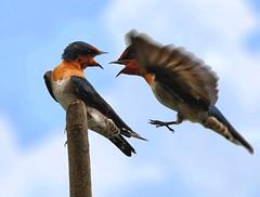 I was here first (Swallows) (Grandpa@50) Tags: birds hero winner wonderfulworld challengeyouwinner thechallengefactory larawangpinoy amemoryofourdailylife herowinner