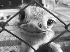 Sonrisa  pedido de ayuda? (Alitas) Tags: macro byn nature argentina animal reja zoo cara safari explore ojos pico cordoba sonrisa libre plumas suri encerrado zoologico pelitos andu