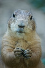 prrikutya / prairie dog (jenson7) Tags: animal prairiedog slidr prrikutya