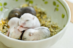 the quadruplets (mela.de.gypsie) Tags: sleeping white green eating dwarf praying bowl explore pearl grains paws oats hamsters sapphire nom winterwhites pearlpudding