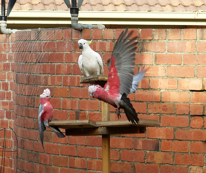 two galahs and one cockatoo