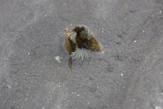 貝殻に棲むイソギンチャク