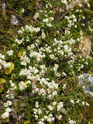 Heath Bedstraw (Galium sp.)