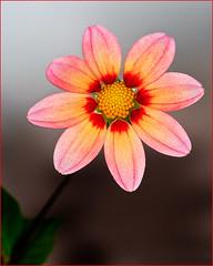 (Art-) Tags: dahlia flower macro nature pa longwoodgardens canoneos5d canonef180mmf35lmacrousm nationaldahliasocietyshow