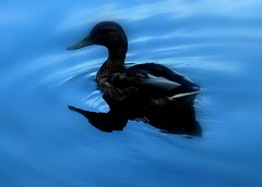 Duckie in water (~ naim) Tags: reflection water animal duck reflexions friendshot naturesfinest