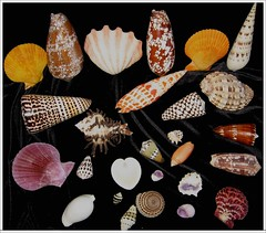 Shells - Shapes, colours and Patterns #2 (Mary Faith.) Tags: ocean sea food shells fish art nature islands design sand colours play patterns shapes hobby collection health southpacific shellfish leisure taste phillipines fiatlux