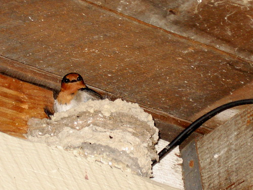 House Swallow