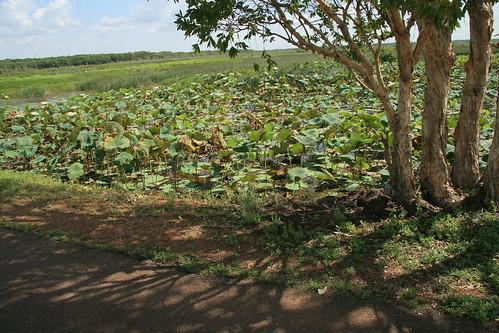 Crocodile spot Fogg Dam wall