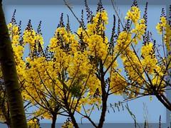 Guapuruvu, típica do Brasil, na Austrália...