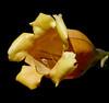 Solandra maxima #2 (J.G. in S.F.) Tags: plant vine macroflowers sanfranciscocalifornia solanaceae solandramaxima flowerscolors sfbotanicalgarden flowersadminfave ubcbotanyphotooftheday cupofgoldvine hawaiianlily goldenchalicevine