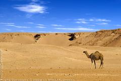 Cast away (Ammar Alothman) Tags: blue sky 3 nature animal animals canon landscape eos photo sand flickr gulf desert photos mark wildlife camel 1d kuwait 2008 ammar kuwaitcity kw q8  mark3     vwc  canon400mmf56l alothman ammaralothman 3mmar  canonef400mmf56lusm kuwaitpictures  kuwaitwildlife canon400mm  kuwaitiphotographer kuwaitphoto kuwaitphotos ammarphotos ammarq8 ammarphoto eos1dmarkiii 1dmarkiii eos1dmark3 ammarphotography kuwaitpic kuwaitpictrue whereiskuwait canon1dmarkiii canonmarkiii canon1dmark3 kvwc canonmark3 kuwaitvoluntaryworkcenter  kuwaitvwc ammarq8com  ammarphotocom  sabiyah