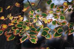 autumn time / 2 (maurizioagelli (formerly giuliomarziale)) Tags: autumn dof pisa tuscany nikkor toscana autunno ais 135mm sekonic d40 piagge vialedellepiagge