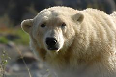 Blijdorp (Eisbeertje) Tags: oktober beer animal animals zoo rotterdam blijdorp nikon nederland 70300mm 2008 dieren dier ijsbeer tier dierentuin beren tieren