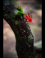Holding on! (mcazadi) Tags: autumn red tree green fall leaf maple please trunk soe holdingon abigfave colourartaward alemdagqualityonlyclub flickrclassique