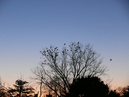 Crows in the morning