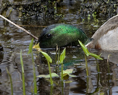 Feeding Mallard Drake (Dah Professor) Tags: kh0831 thegreatswamp slbfeeding bird greatswamp swamp aquaticbird animalportrait nj anas platyrhynchos anasplatyrhynchos
