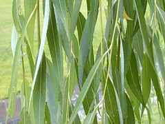 plant 5 (ncatcj) Tags: light green branches name simple entire alternate scientific salix yellowish babylonica glabrous leafslancelinear flowersunisexual incatkinswiththeleaves onpedunclesfruitsarenarrowlyovoid sessilecapsule