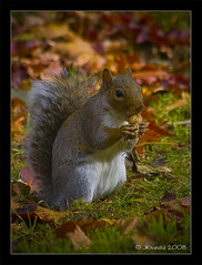 Squirrel Nutkin (JKmedia) Tags: park autumn color colour fall colors grey rodent squirrel colours eating tail victoria explore nut snacking mokey greysquirrel bushy foraging naturesfinest nutkin monkeynut supershot canoneos40d 15challengeswinner theunforgettablepictures natureselegantshots explorewinnersoftheworld jkmedia vosplusbellesphotos presweep pregamebirthdayspecial