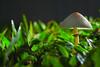 """Alone, in tears"" (Filan) Tags: mushroom closeup nikon singapore micro singapura clementi ket whaletail kenko filan garyfong kenkoextensiontube abigfave filanthaddeusventic kenkodg filannikon filand3 filantography nikonfilan filanthography nikonianfilan iamfilan"