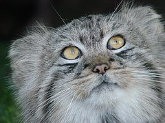 Nice Moggy (john a d willis) Tags: cat moggy paradisepark pallascat ultimateshot theunforgetablepictures theunforgettablepictures goldwildlife vosplusbellesphotos