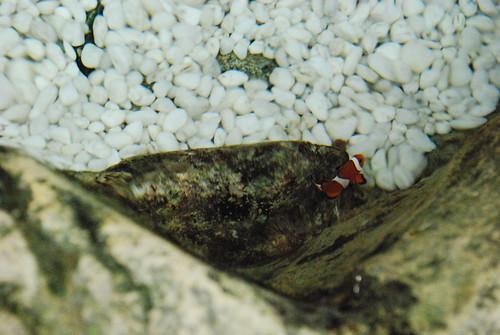 little clown fish