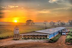 Nascer do Sol na Granja 1 (Shigow) Tags: brazil chicken sol colors brasil composition rural sunrise wow galinha fantastic nikon mine do farm great victor tokina sp paulo nikkor 18200 são hdr grange fazenda granja nascer d300 frango casp 1116 seara shigueru ituverava shigow