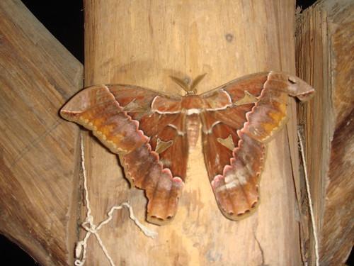 Mariposa nocturna en el Fogón de Lola