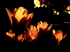 Night Garden Tulips (Reservoir_Dan) Tags: orange ontario flower nature backlight spring pretty blossoms tulip milton iphone iphoneography