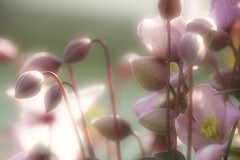 DREAMING IN THE SUNSHINE (craftedfromtheheart) Tags: pink flowers light home nature sunshine photoshop garden flora ngc blossoms clematis londonderry buds dreamy soe derry castlerock ulster coleraine cs5 frontfence craftedfromtheheart yesshaneactuallyhadflowersinhisgardenbeforeicamealong northernirelandgbukgreatbritainunitedkingdom