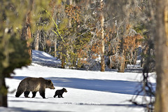 Grizzly Bear Sow Cub (Daryl L. Hunter - The Hole Picture) Tags: cub bravo yellowstonenationalpark coy sow grizzlybear cuboftheyear grizzlysowandcubcoyyellowstonenationalpark