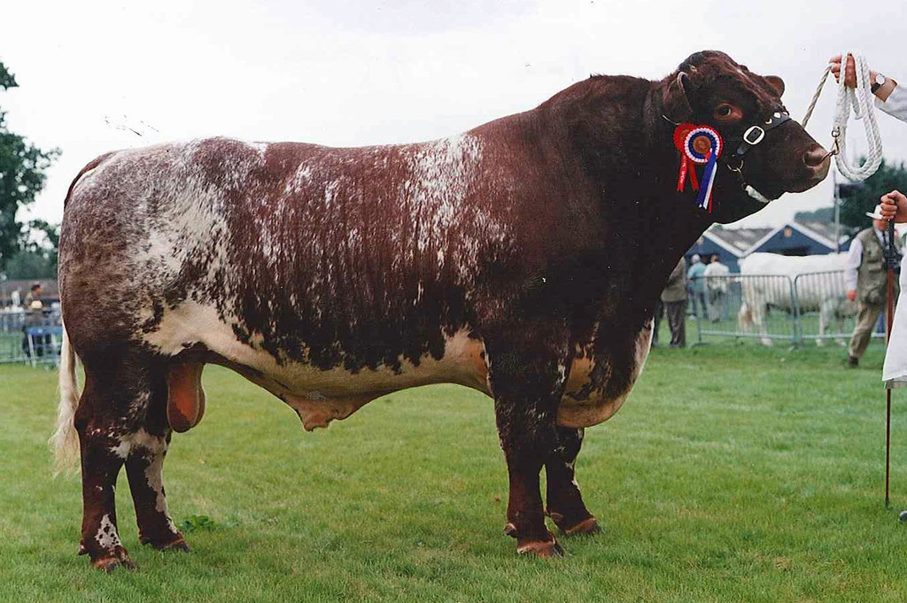 shorthorn cattle bull pictures to pin on pinterest pinsdaddy