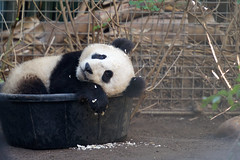 Cub in a tub... (Rita Petita) Tags: china california panda sandiego giantpanda sandiegozoo xiaoliwu