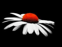On The Horizontal (mightyquinninwky) Tags: orange white flower macro beauty campus geotagged spring landscaping 10 5 indiana southernindiana explore harmony 100views onwhite picnik rivervalley onblack usi hap comeonspring thebigone ohiorivervalley 5faves masterphotography 10faves masterphotos viewonblack evansvilleindiana flickraward fabulousflowers happyartspostcards happyartpostcards magicofaworldinmacro vandenburghcountyindiana univeristyofsouthernindiana viewonwhite geo:lat=37963621 explorewinnersoftheworld losmejoresmomentosdetudia floralfavorites geo:lon=87678323 losmejoresmomentosdetuda floralfavorite fabulousflicks jasonpresser diseadogrficamente belknapindiana atmphotography greatshotss exploreformyspacestation