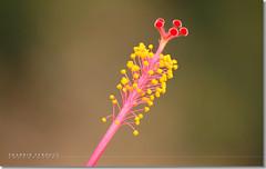 Joba (Shabbir Ferdous) Tags: flower macro photographer hibiscus pollen bangladeshi joba canoneosrebelxti flowersofbangladesh shabbirferdous sigmazoomtelephoto70300mmf456apodgmacro wwwshabbirferdouscom shabbirferdouscom