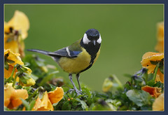 A sunday kind of love... (hvhe1) Tags: bird nature animal bravo wildlife pansy greattit naturesfinest firstquality specnature specanimal hvhe1 hennievanheerden avianexcellence