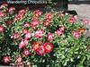 Day 19 The International Rose Test Garden - Portland - Oregon 4
