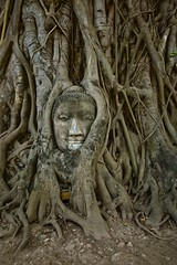 Buddha Head Inbedded in Roots at Wat Phra Mahathat, Ayuthaya, Thailand (René Ehrhardt) Tags: world park old city trip travel vacation holiday tree travelling heritage history tourism statue thailand army ancient ruins holidays asia southeastasia khmer place head eating buddha south famous urlaub sightseeing kingdom places landmark tourists unesco east thai historical southeast oriental orient root wat siam burmese far remains destroyed sights grown attraction attractions phra ayutthaya remaining mahathat ramathibodi ayutthayaprovince
