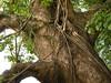 竹山鎮中和里救人老茄苳樹DSCN0175