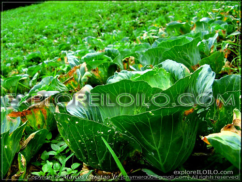 Cabbage Patches in Bucari
