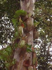 Upper Maliau Expedition, Sabah, Borneo (Prof KMS) Tags: basin borneo sabah nepenthes veitchii maliau eucalyptuscamp
