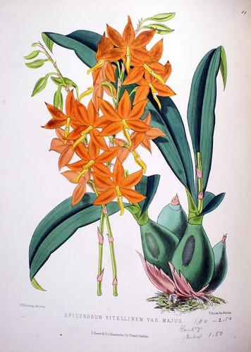Epidendrum vitellinum var. majus