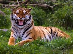 Temper Outburst / Accès de Mauvaise Humeur (Yann Le Biannic) Tags: zoo tiger tigris tigre panthera zooparc trégomeur