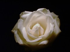 ~dreaming of you~ (^i^heavensdarkangel2) Tags: light flower macro rose closeup night whiteflower fuji darkness nightshot finepix fujifilm picturesque heavenly selena dreamingofyou whiterose 3800 masterphotos golddragon heavensdarkangel theunforgettablepictures thebestflowers heavenlyrose dragongoldaward ilovemypics mimamorflowers salveanatureza awesomeblossoms beautifulsecrets excelllentflowers desbahallison heavensdarkangel2