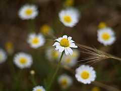 Una entre un millón (_Zahira_) Tags: flower macro daisies lafotodelasemana flor olympus nd daisy margarita margaritas e500 uro 100vistas interestingness71 i500 ltytrx5 ltytr1 50mmf18om