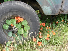 July-14-2008-04 (morgret) Tags: truck tire halfmoonbay nasturtium