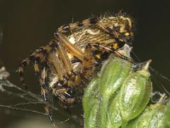 Spider (gripspix) Tags: germany spider sulz fischingen larinioidescornutus 62008