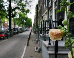 A proud Hollyhock in the City (Hans van Reenen) Tags: amsterdam fav50 bokeh nederland thenetherlands fav20 shallow fav30 hollyhock jordaan bloemgracht stokroos fav10 fav40 fav60 s5pro 20080723