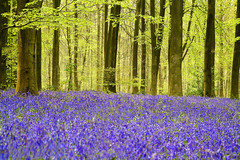 Bluebells in Micheldever Wood, Hampshire (Anguskirk) Tags: wood uk flowers blue trees england color colour nature leaves forest children landscape countryside spring country eu hampshire winchester bluebell naturesfinest hyacinthoides micheldever forestrycommision nonscripta