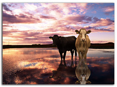 Cooling Off in Explore (DDA / Deljen Digital Art) Tags: uk sky cloud lake colour reflection nature water photoshop cattle cows searchthebest farm northumberland creation imagination merge adaptation ashington pegswood